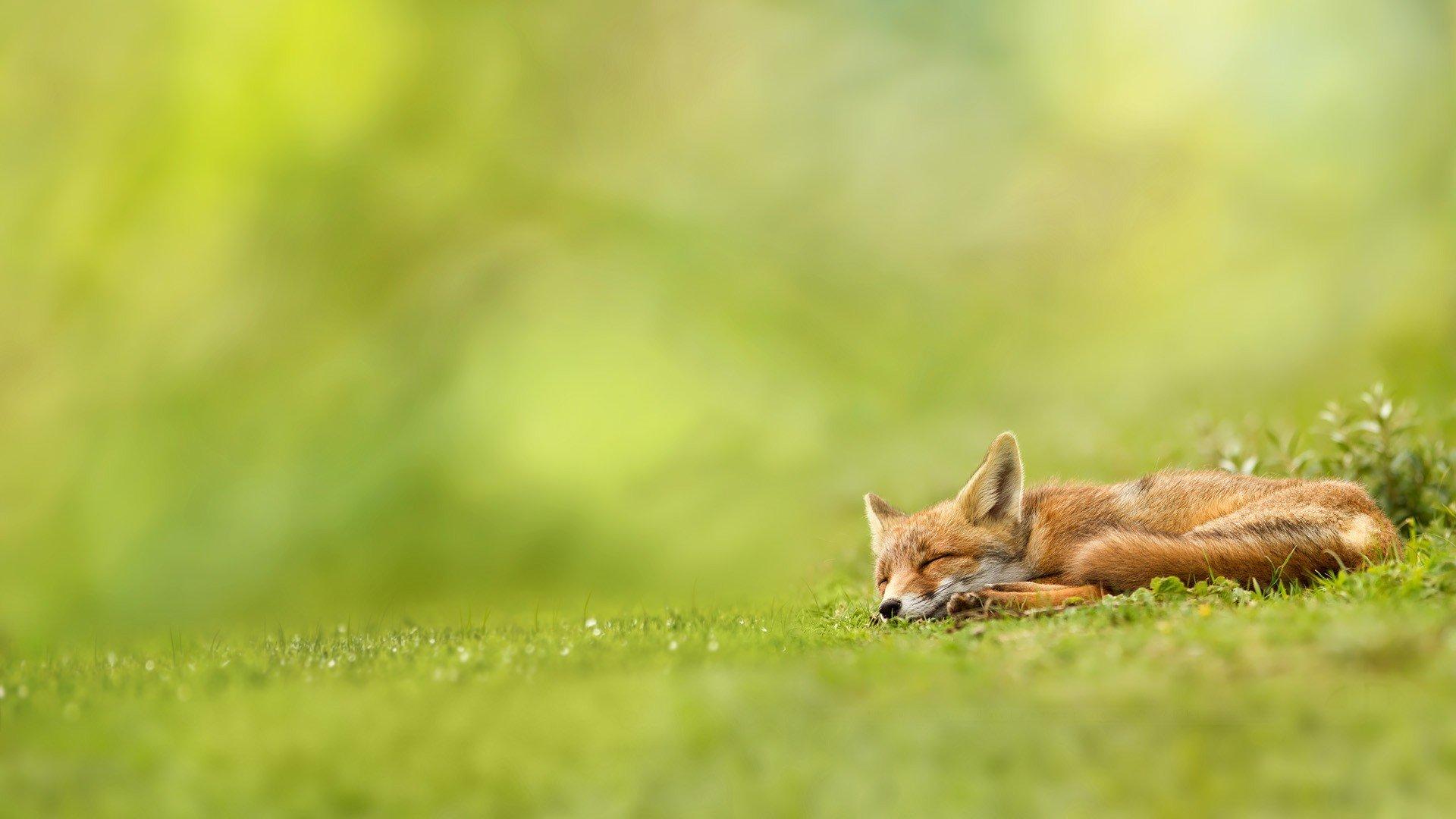 Обои морда, спит, лис. Лисы foto 8