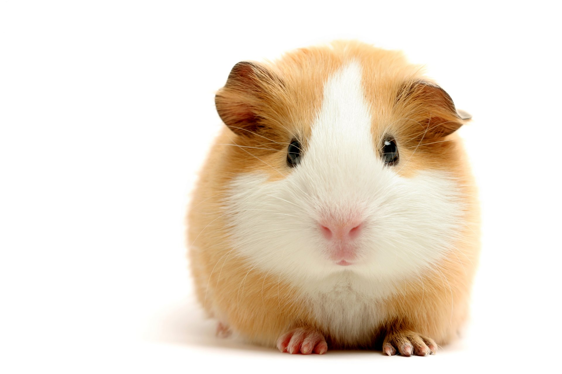 Cute funny guinea pig pictures 50