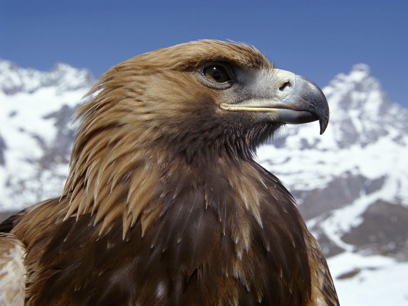 Орел в картинках птица