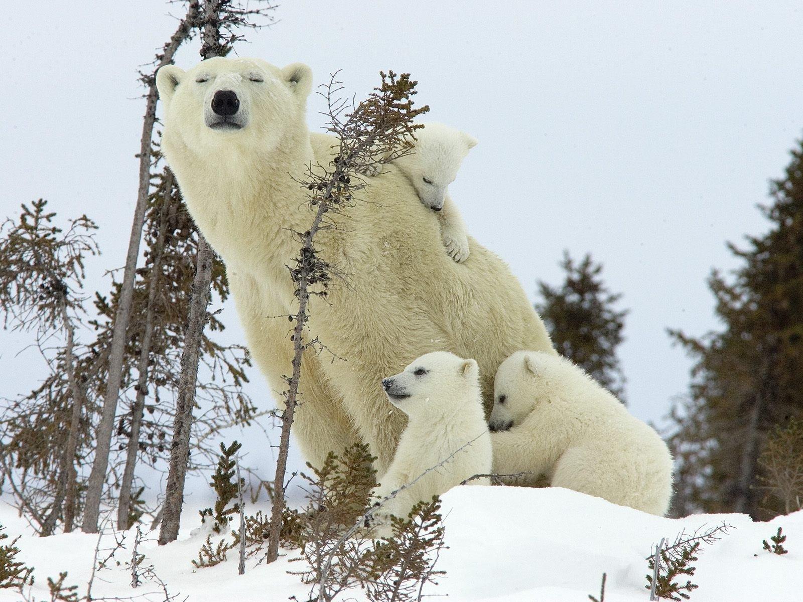 Обои Медведь, медведица, медвежата, ursus maritimus. Животные foto 9