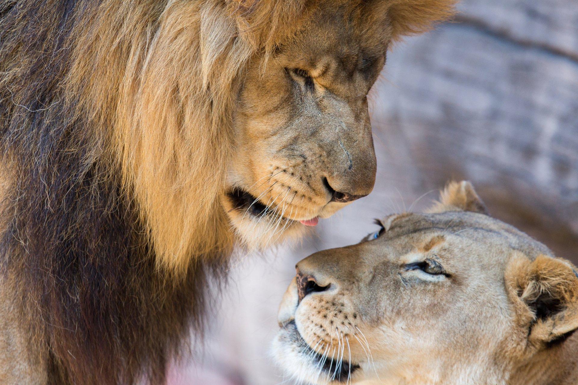 такое картинки с львами и львицами координаты векторного