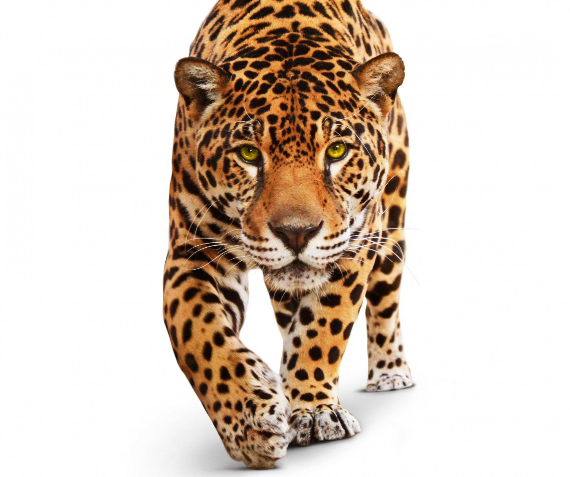 Картинки ягуар кошка зимой