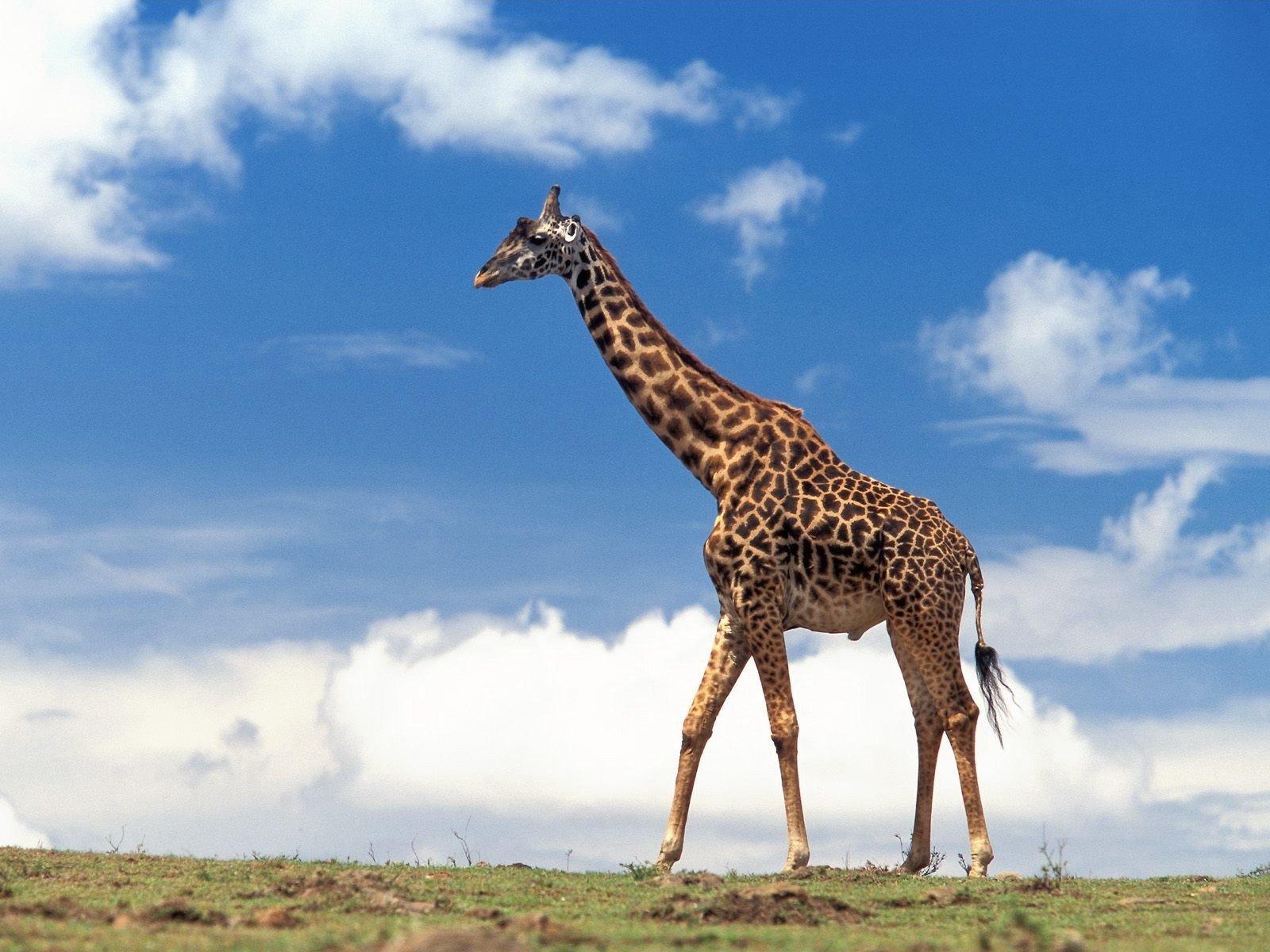 жираф картинка с надписью очень