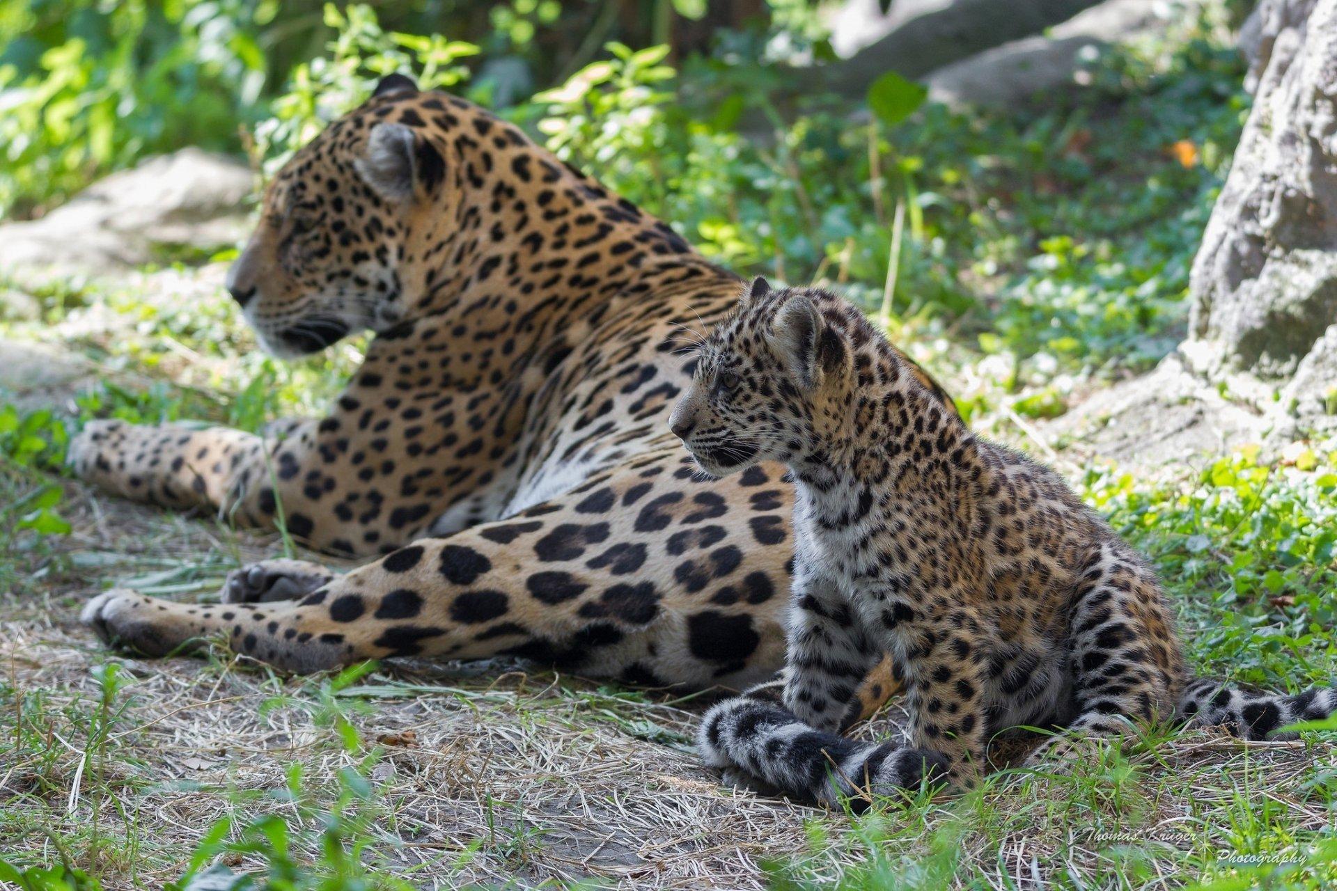 вот картинки диких ягуаров сделаны