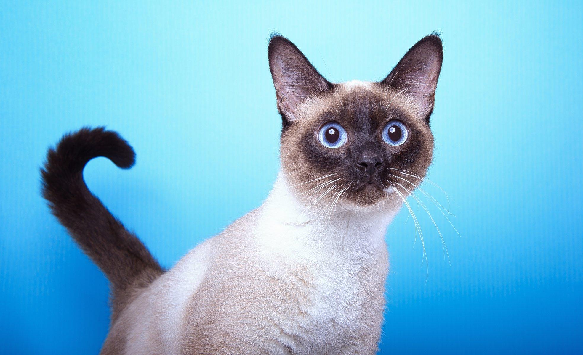 Сеамский кот  № 171509 загрузить