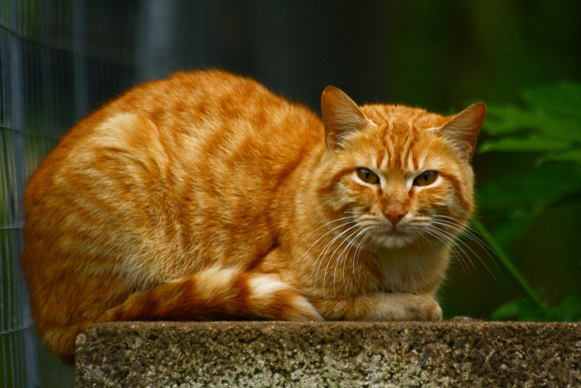 Рыжие кошки картинки фото, влюбленности забавные