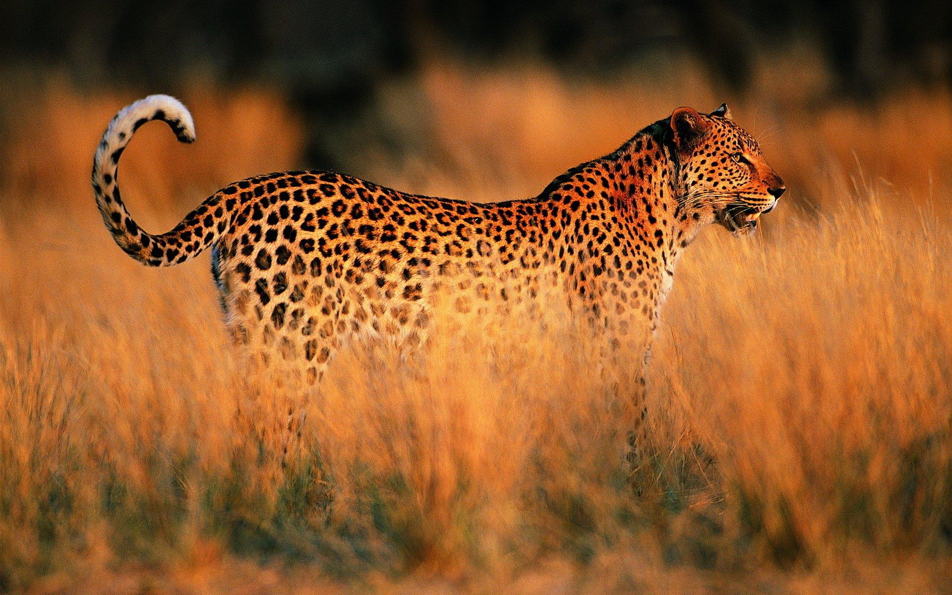 Обои на дереве, отдых, дикая кошка, леопард, африка, Хищник, лежит. Животные foto 16