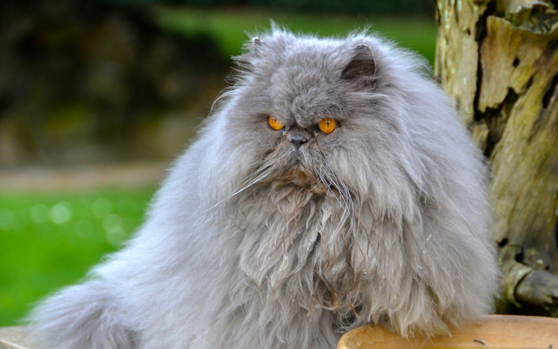 Персидский кот в картинках