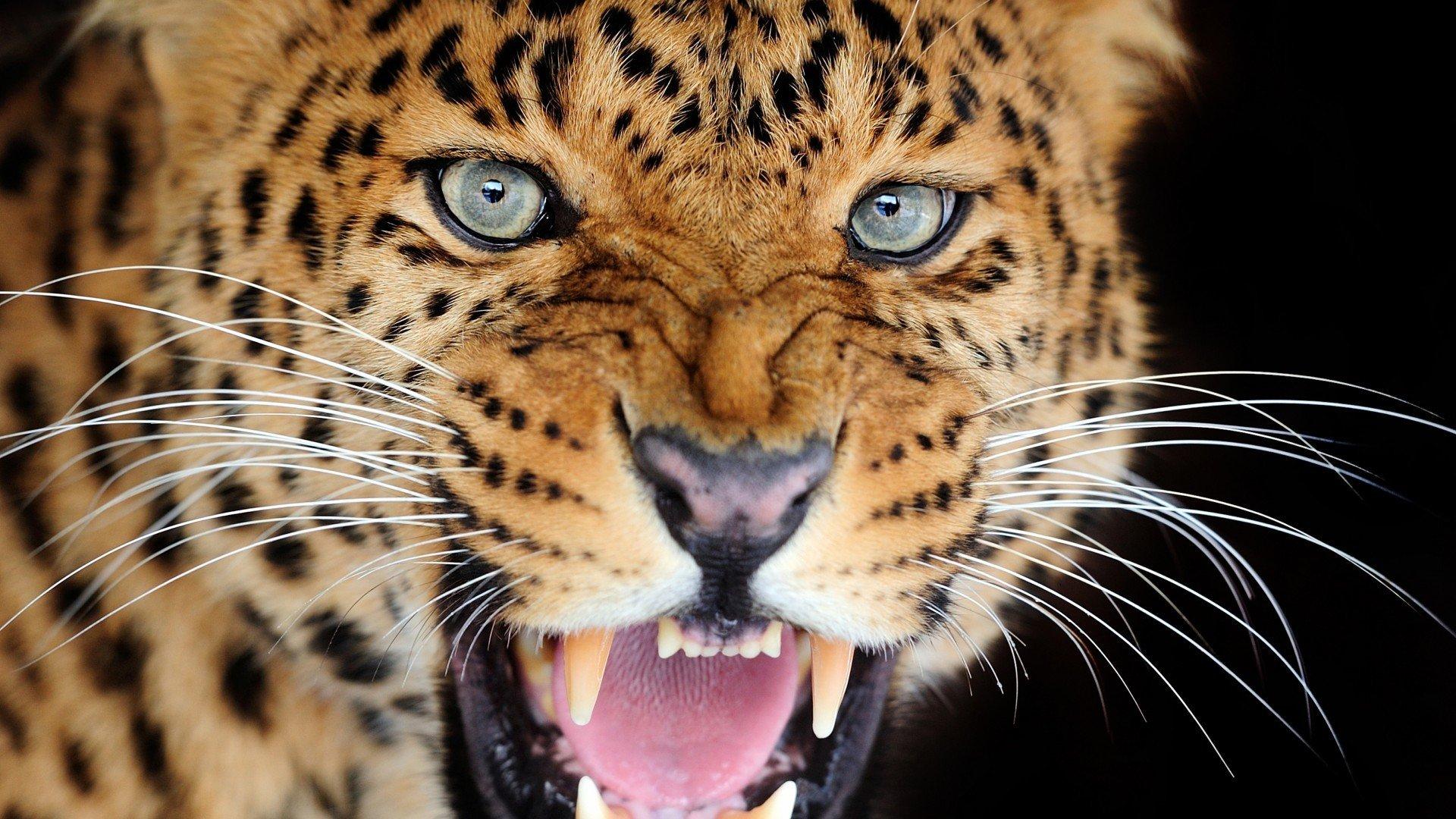 разновидность оскал леопарда фото почему там