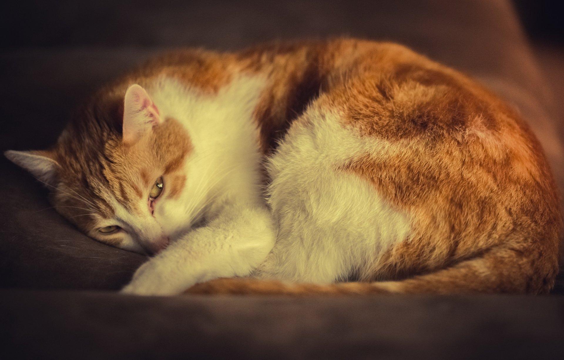 Поздравительная, картинки кошек рыжих с белым