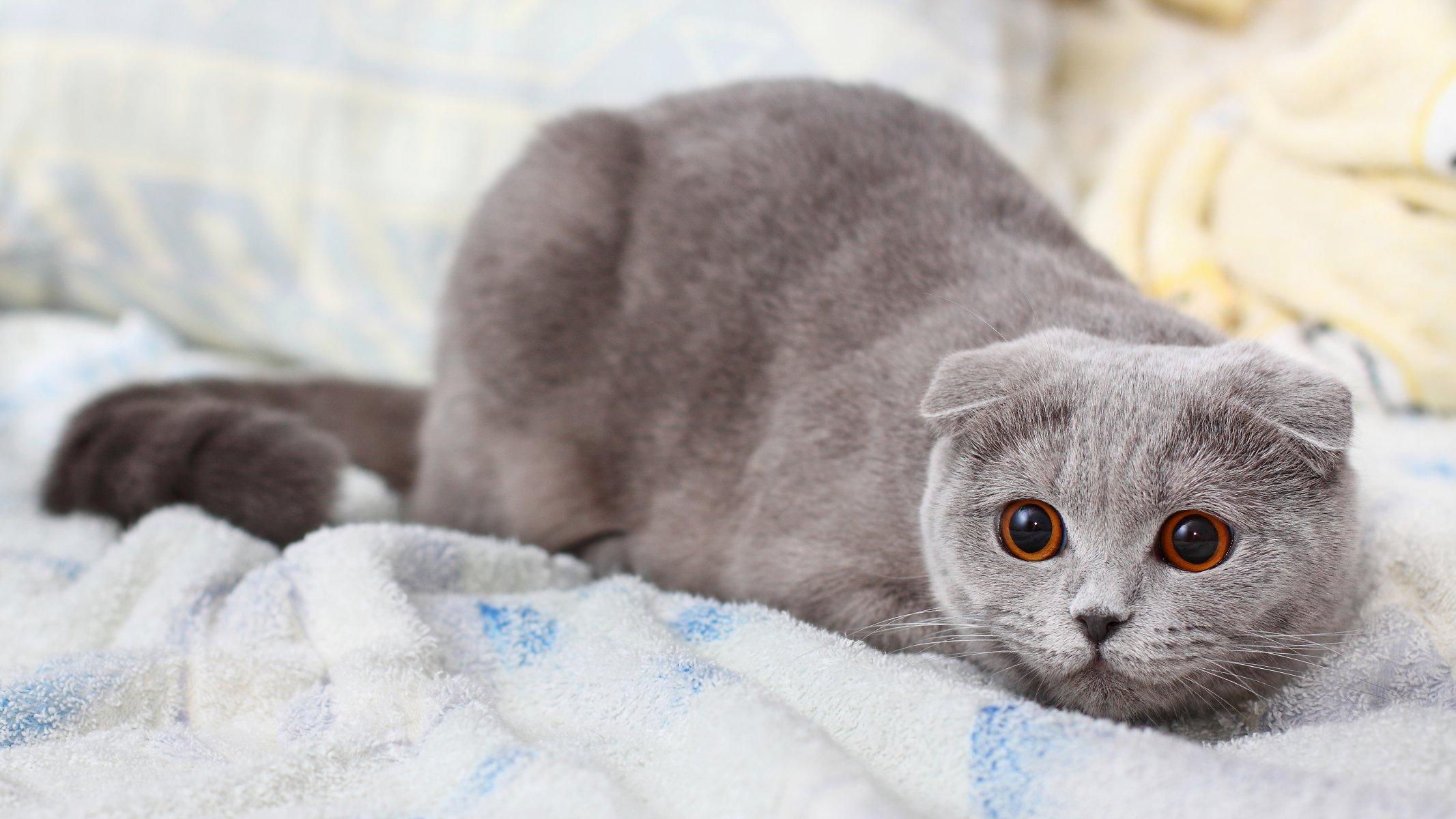 Картинки с котятами вислоухими