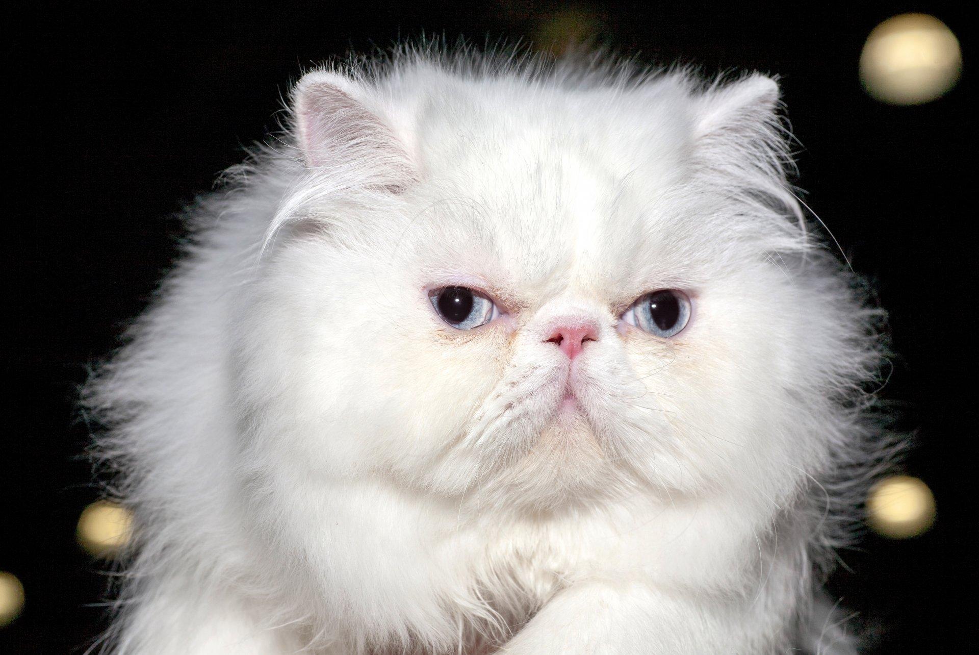 Картинки кошки белые пушистые