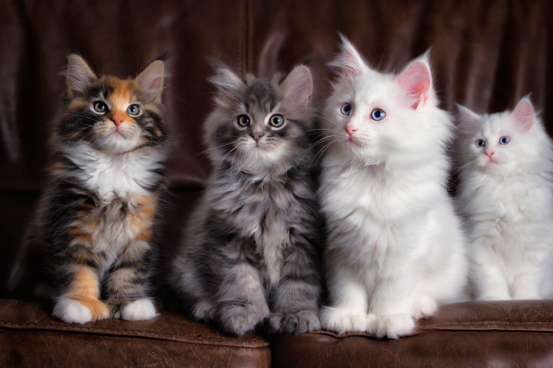 Картинки с пушистыми котиками