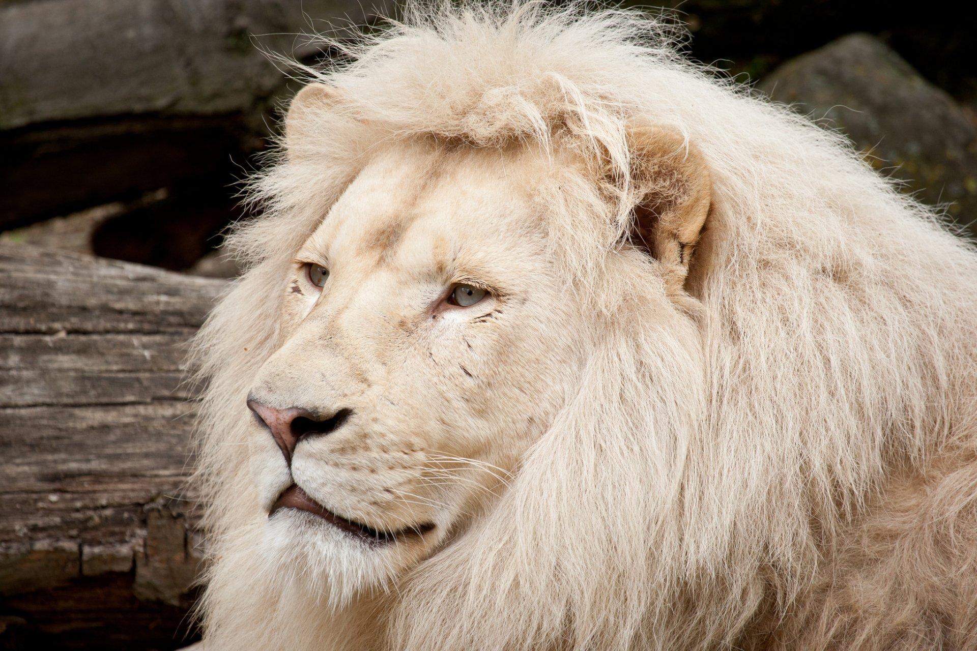 картинки про белых львов оборотнем хотел