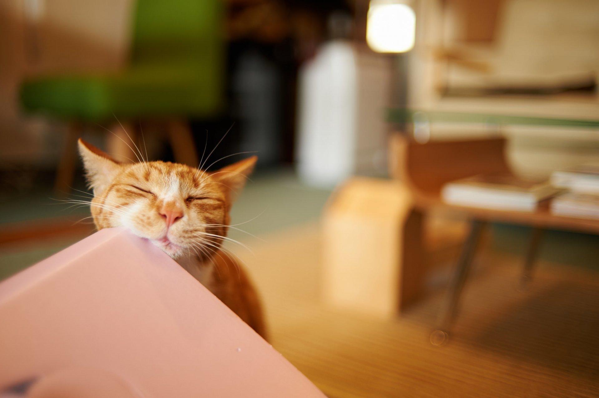 Балдеющий рыжий кот загрузить