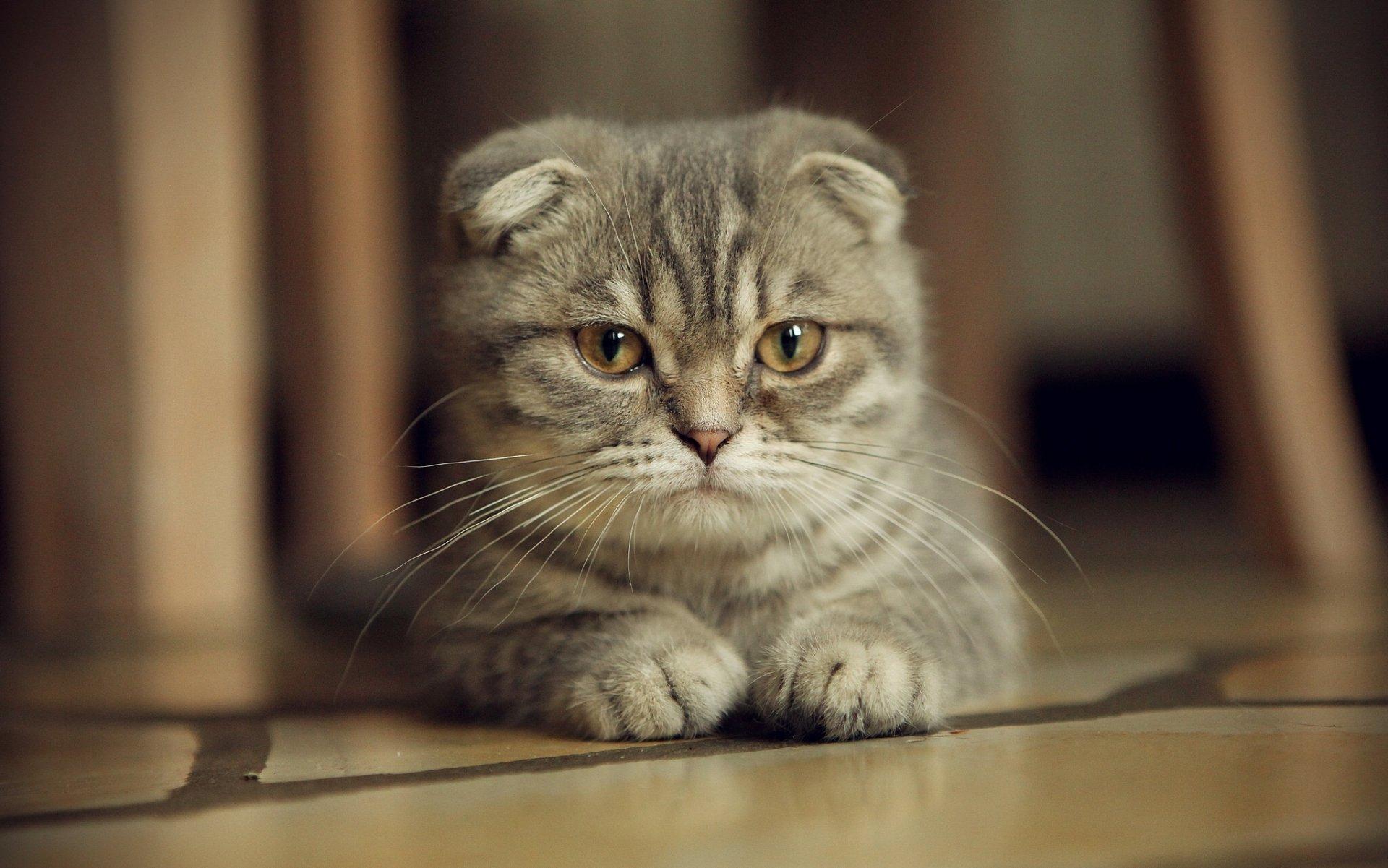 Картинки с котятами вислоухими, про лет приколы