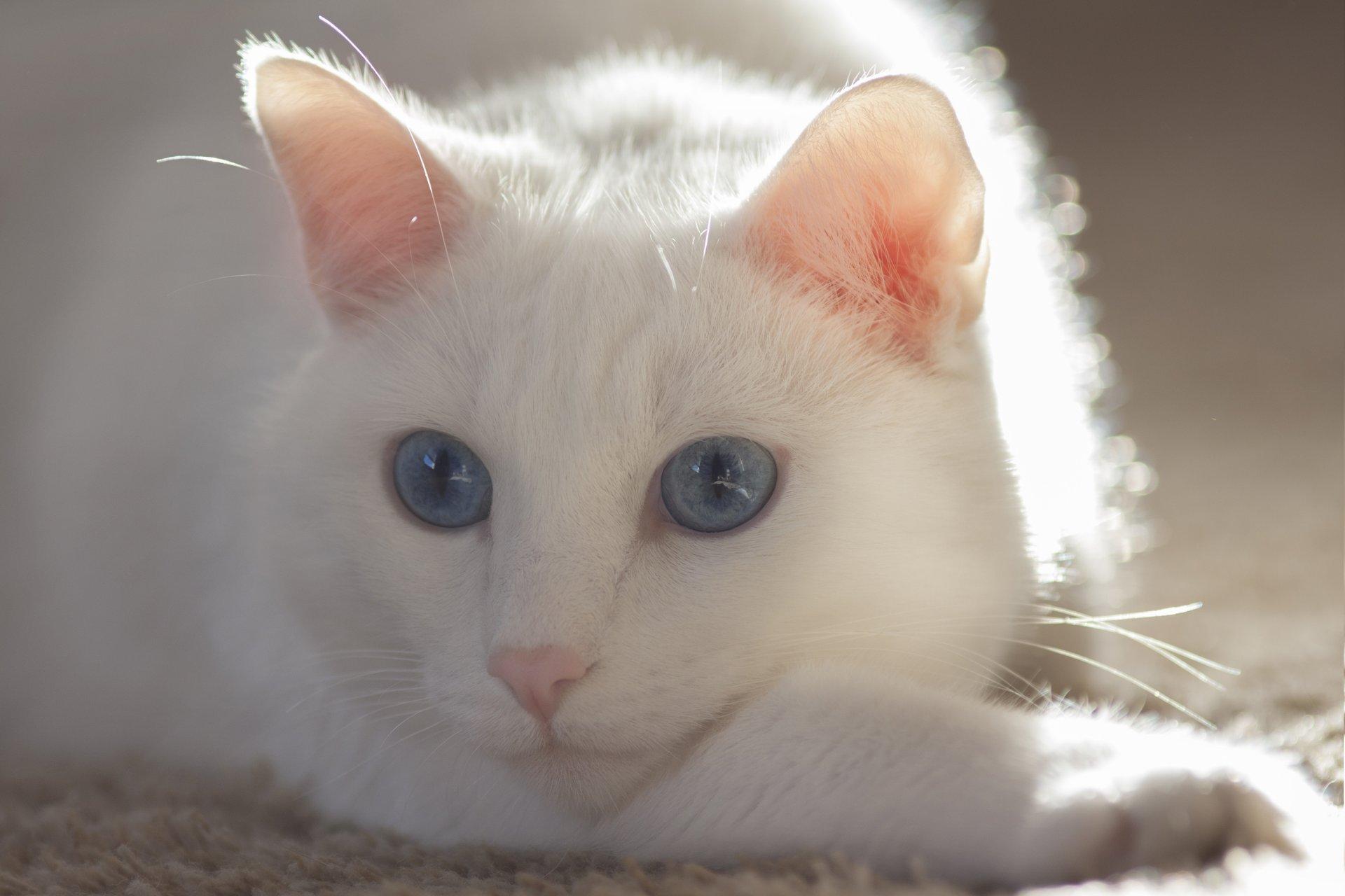 Картинка с белой кошкой