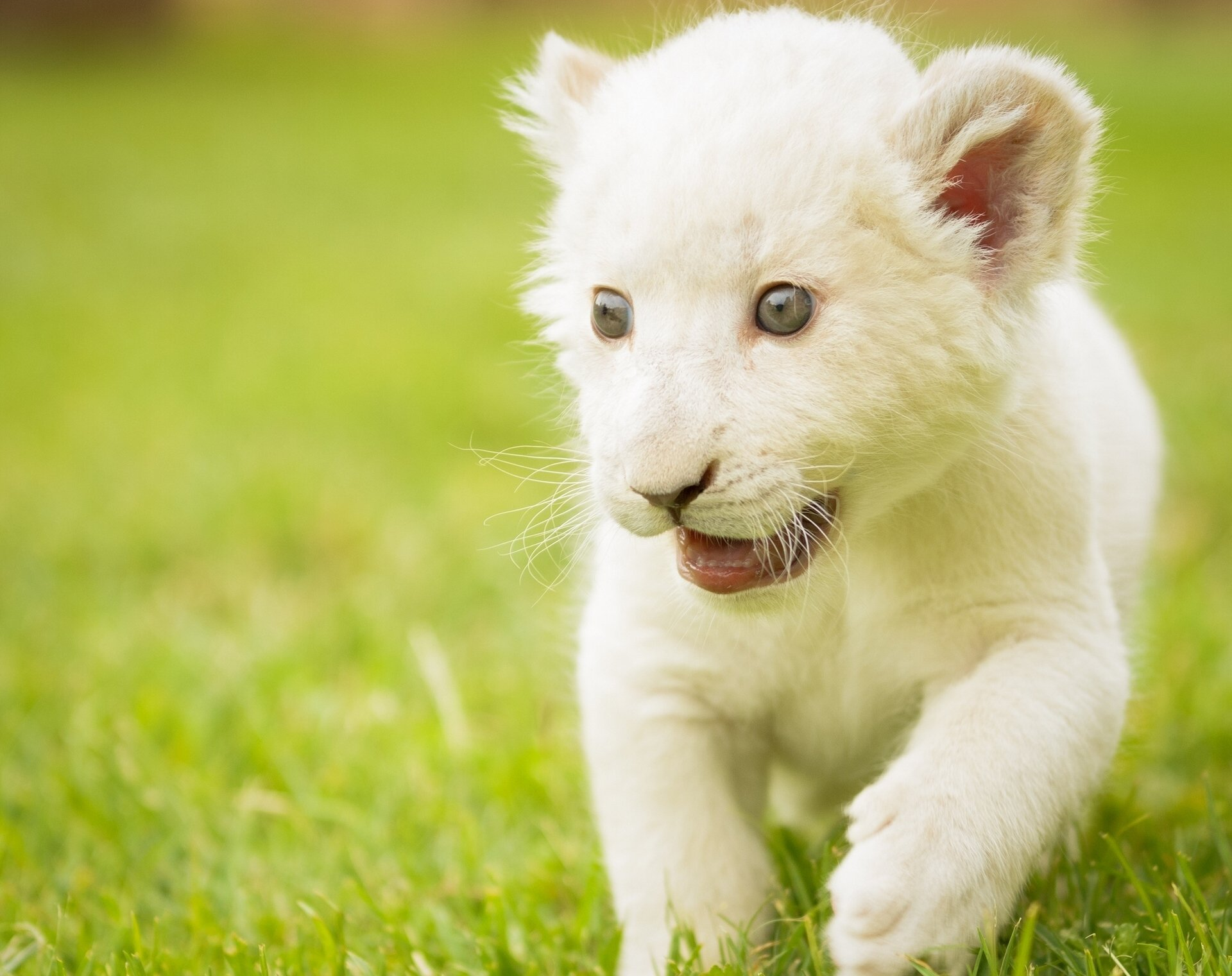 природа животные кот белый nature animals cat white  № 102800 загрузить