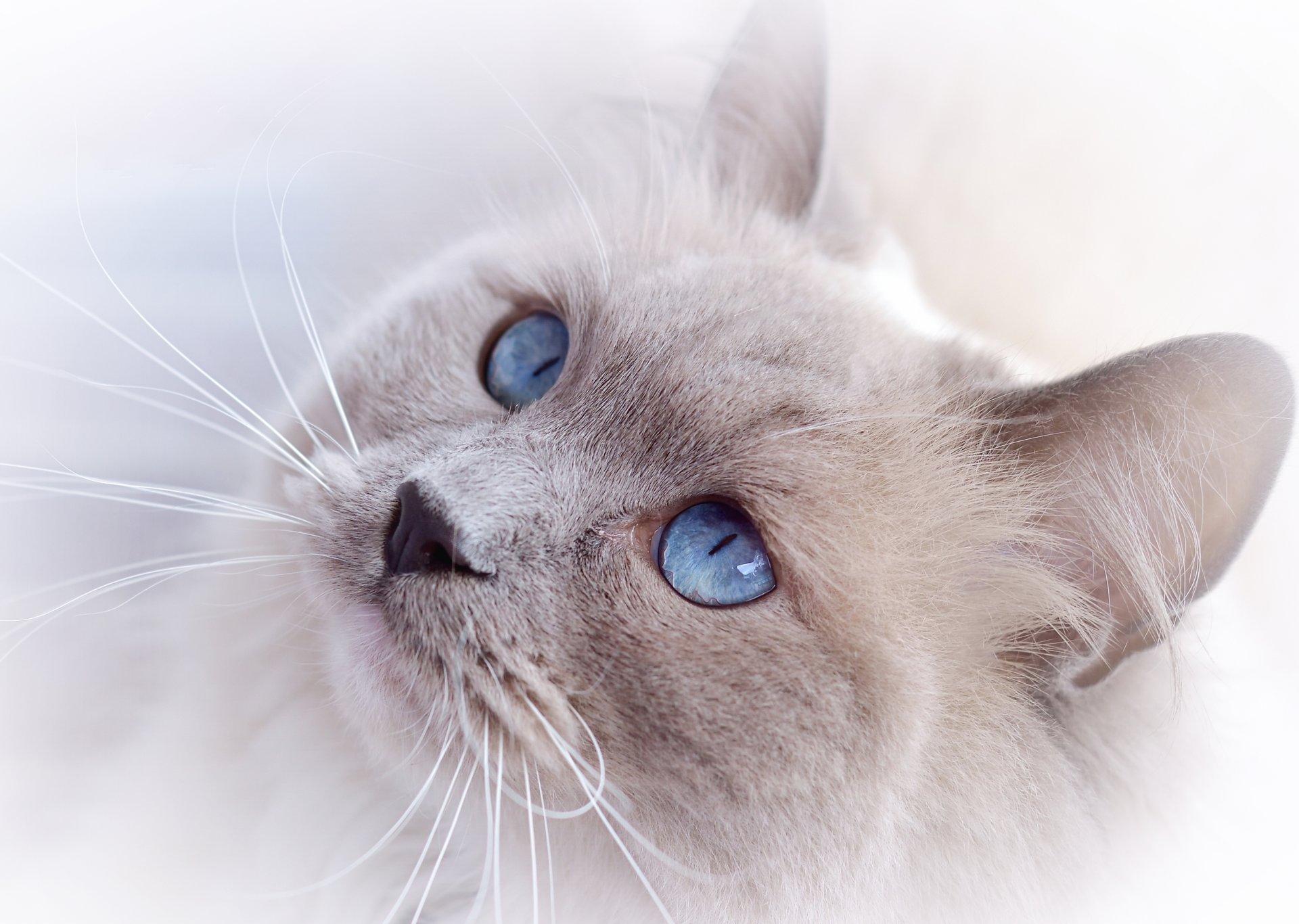 Обои котёнок, голубые глазки, мордочка. Кошки foto 11