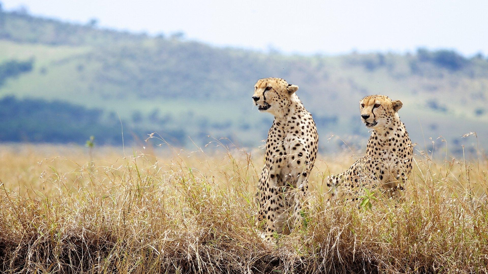 природа животные Гепарды камни трава дерево горизонт  № 276784 загрузить