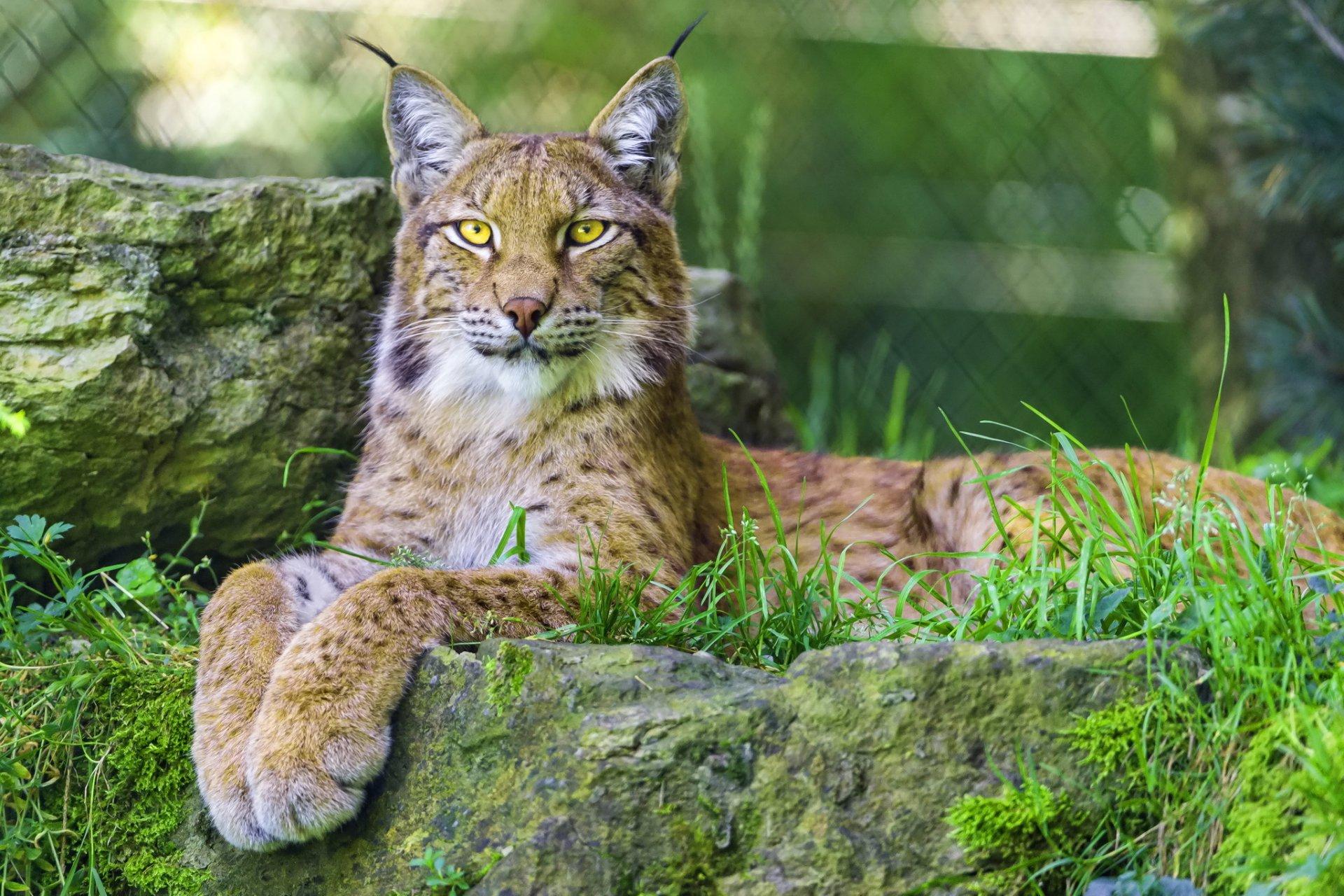 борьбе межпальцевым красивые картинки диких кошек самых богатых