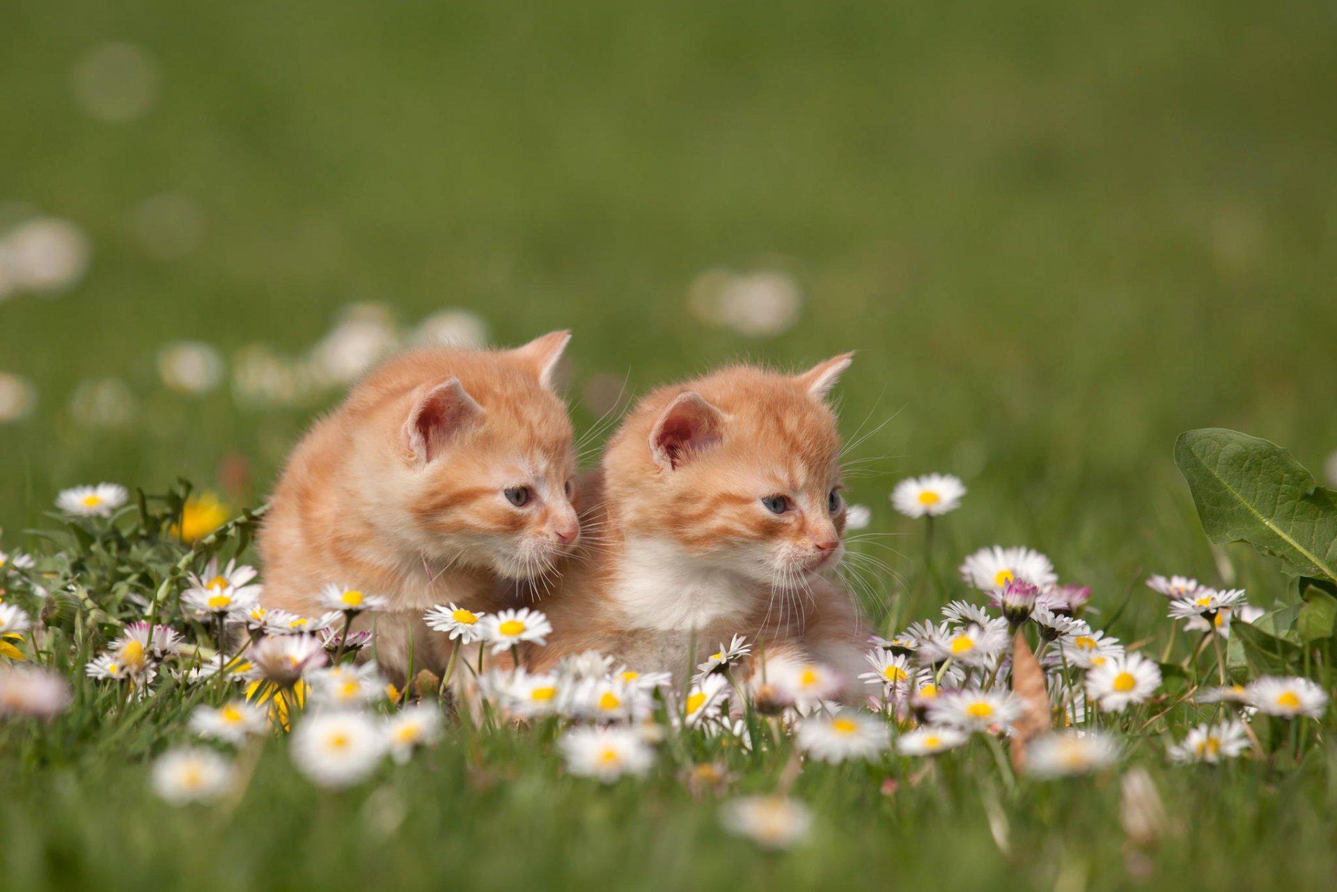 красивые фото котят с ромашками начался рост