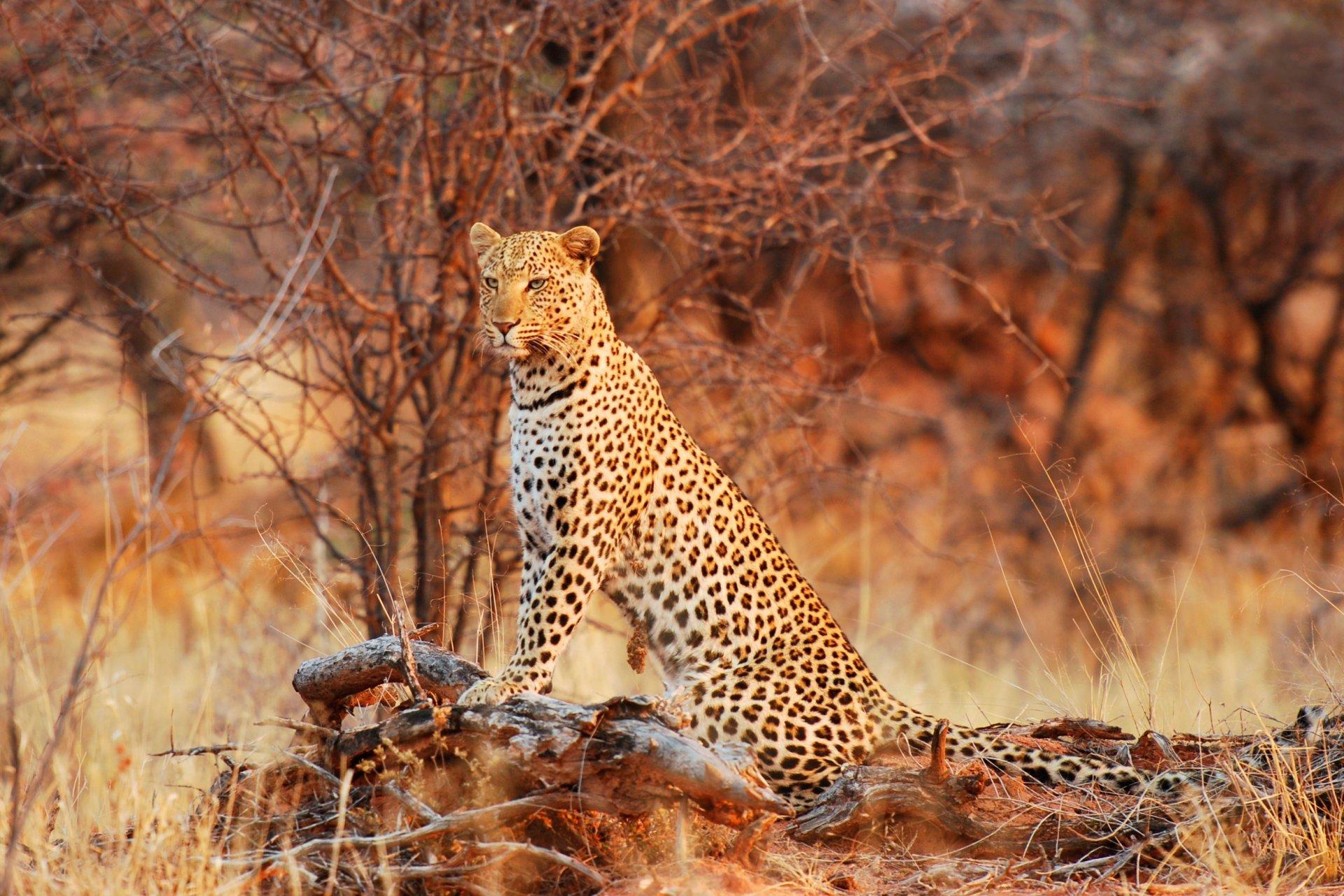 фото леопарда в природе шлейка возле