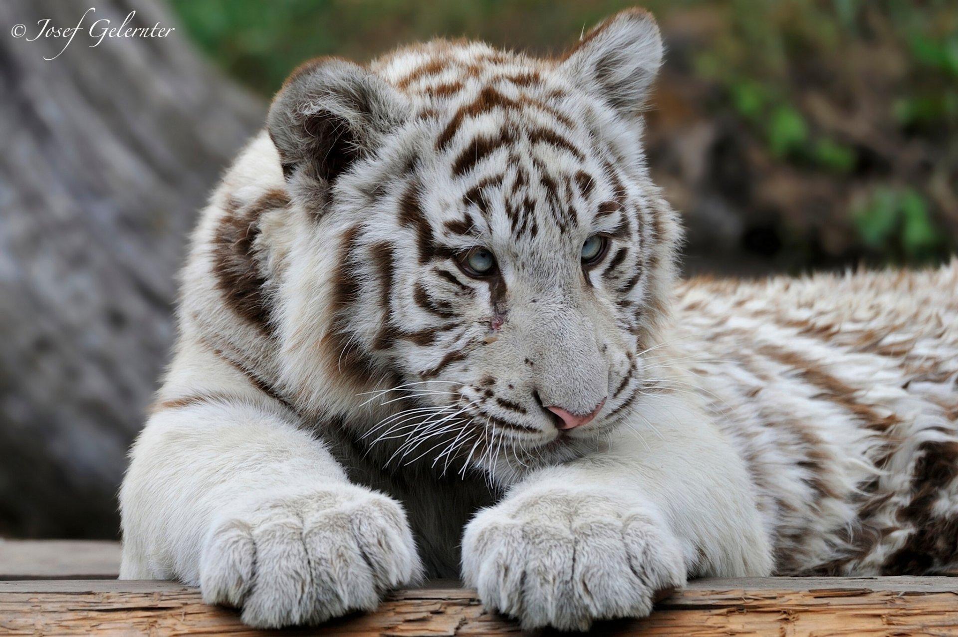 Белые тигры картинки, прикольные картинки картинки