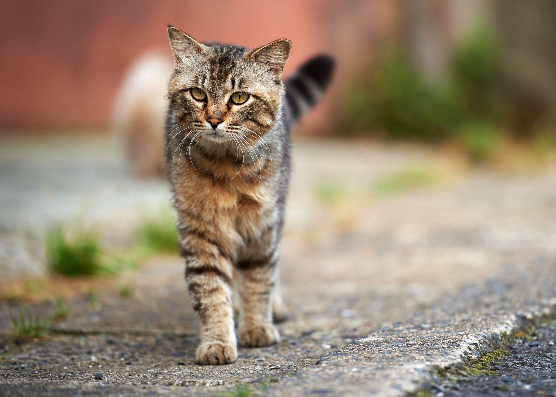 кот серый полосатый кошка улица асфальт HD обои для ноутбука