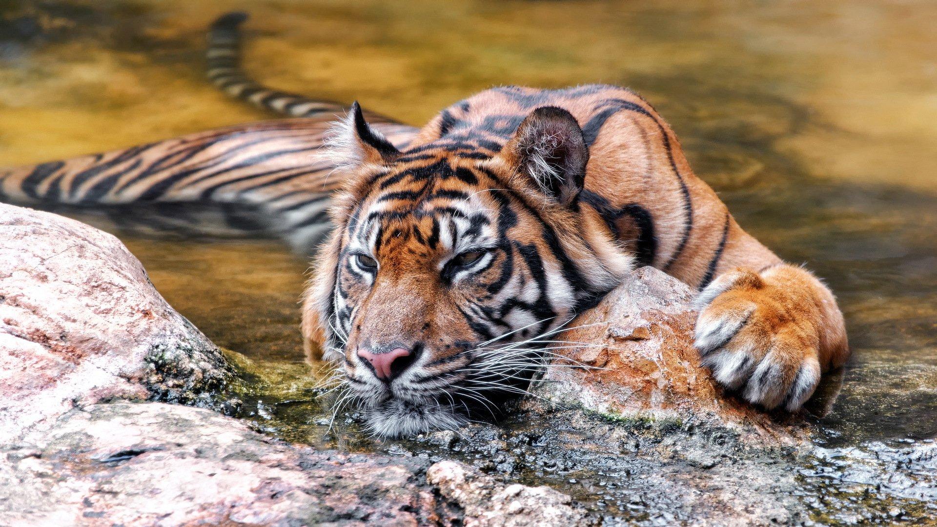 картинка для экрана тигр для проведения