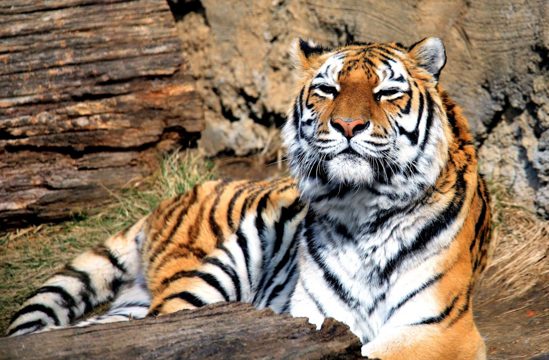 Обои Кошка, tigr, зверь. Кошки foto 15