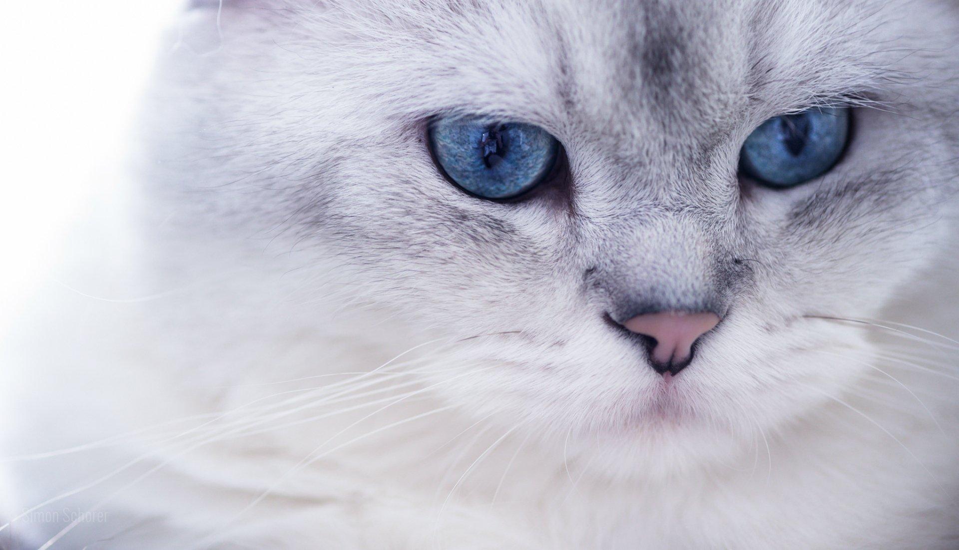 белая кошка голубые глаза бесплатно