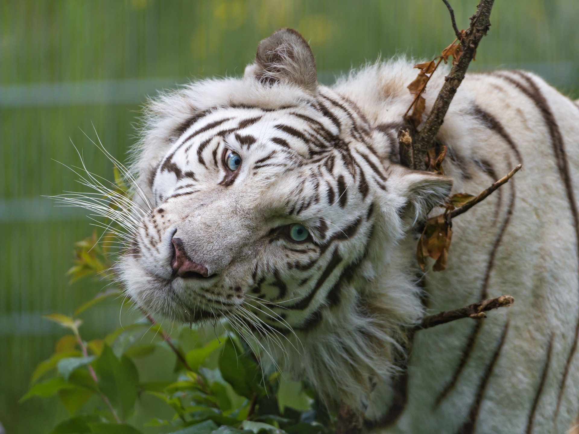 Siberian Tiger - Animal Kingdom Facts and Pictures White tiger with blue eyes pictures
