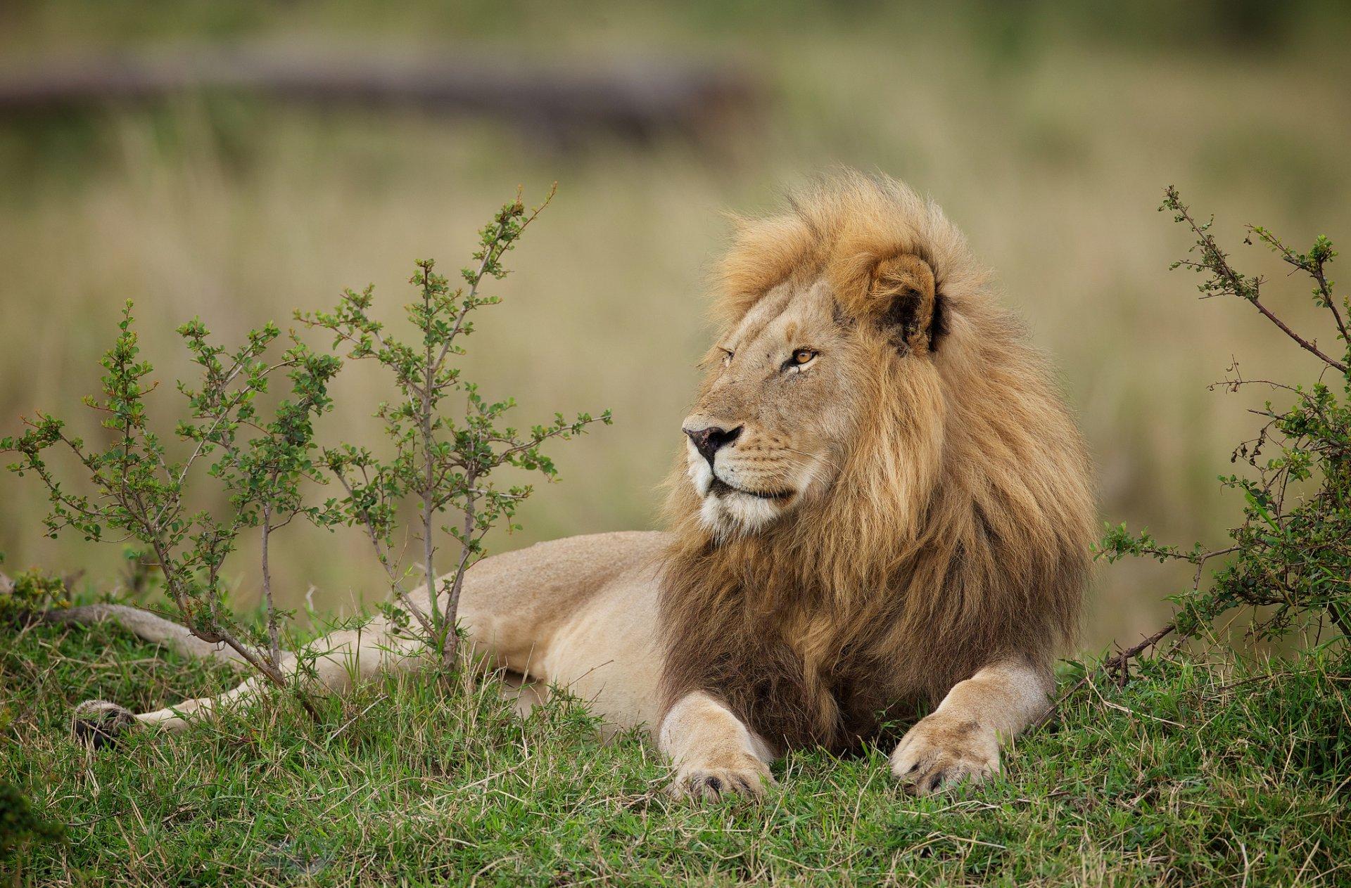 качественное фото львов обычно