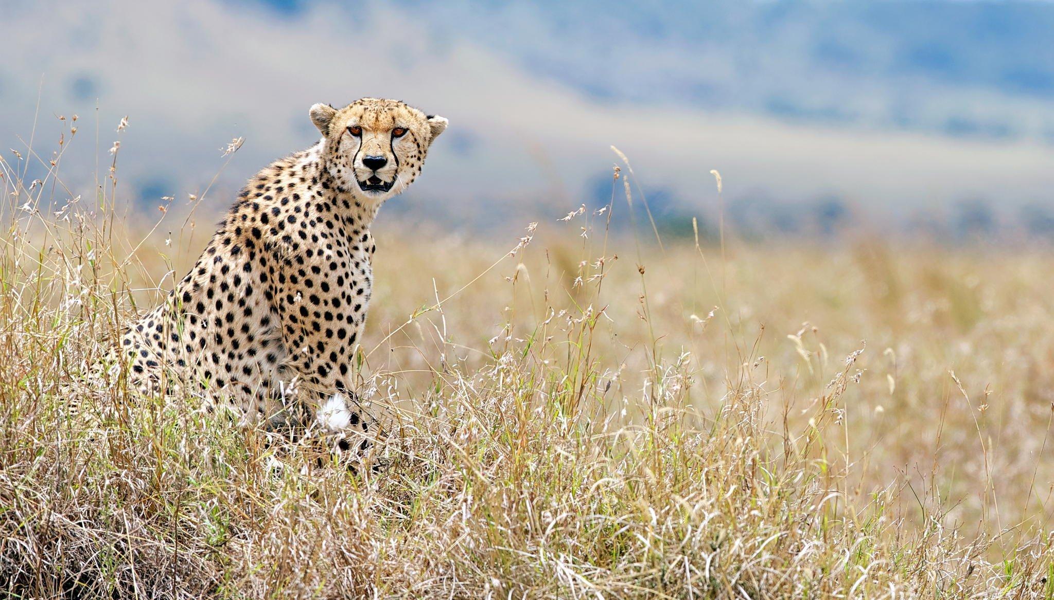 природа животные гепарды без смс