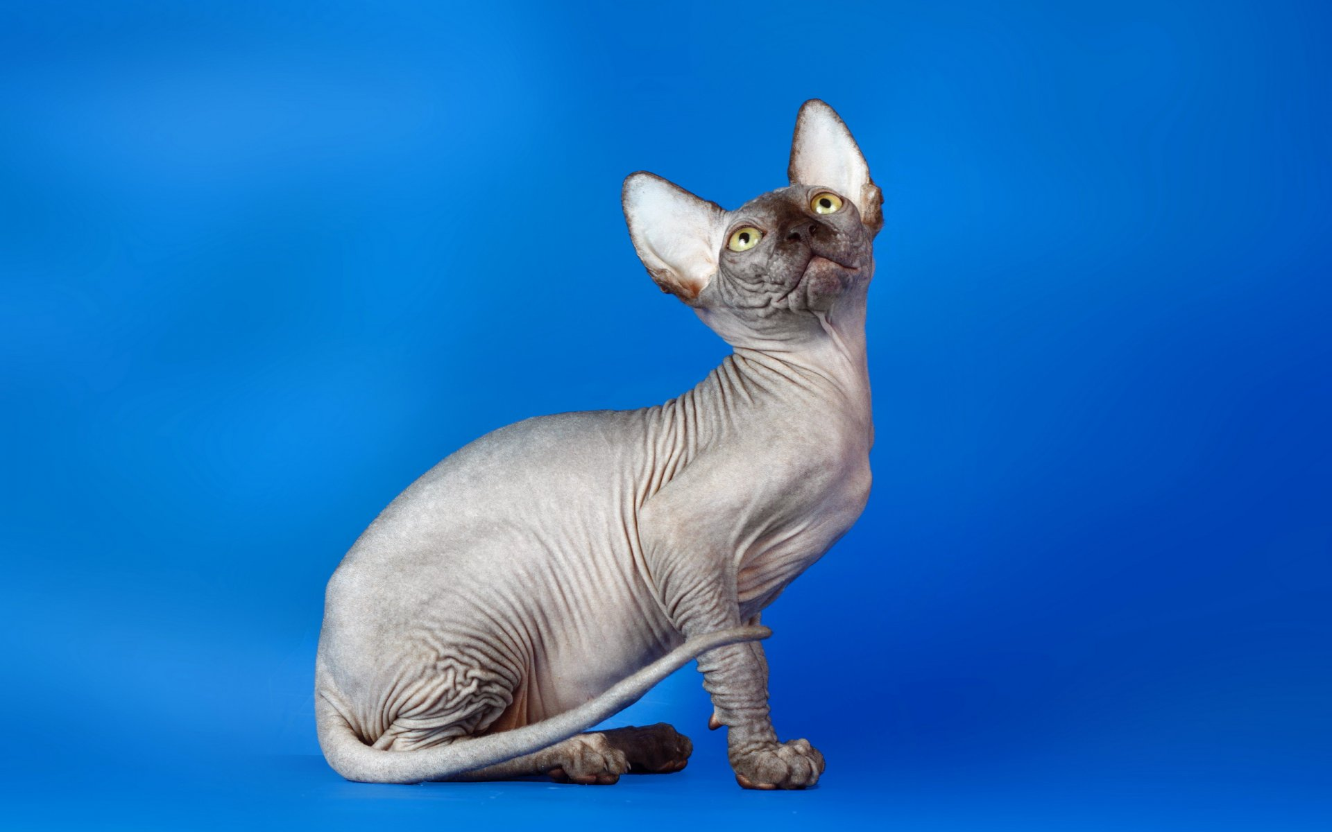 Кошка сфинкс картинка