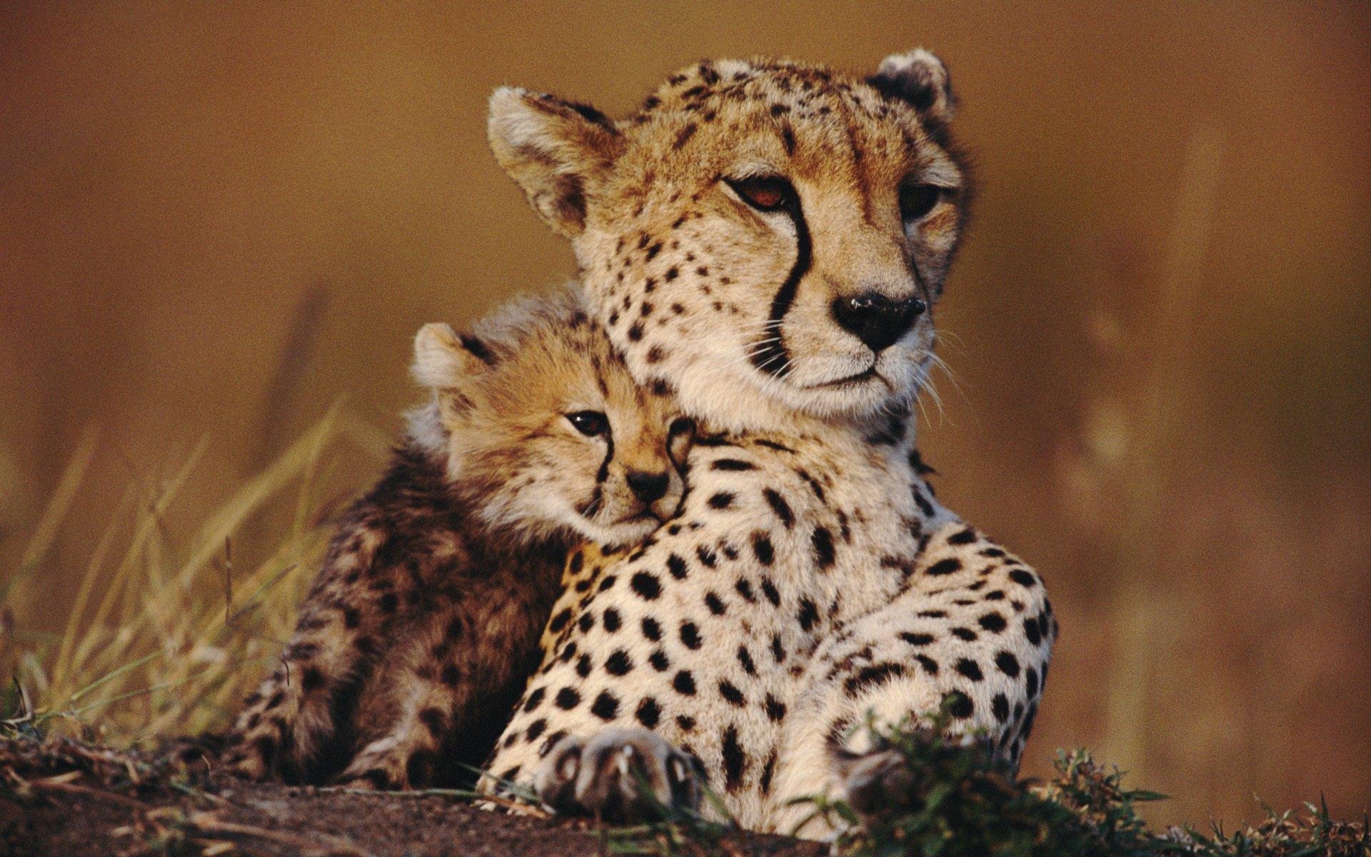 природа животные гепарды скачать