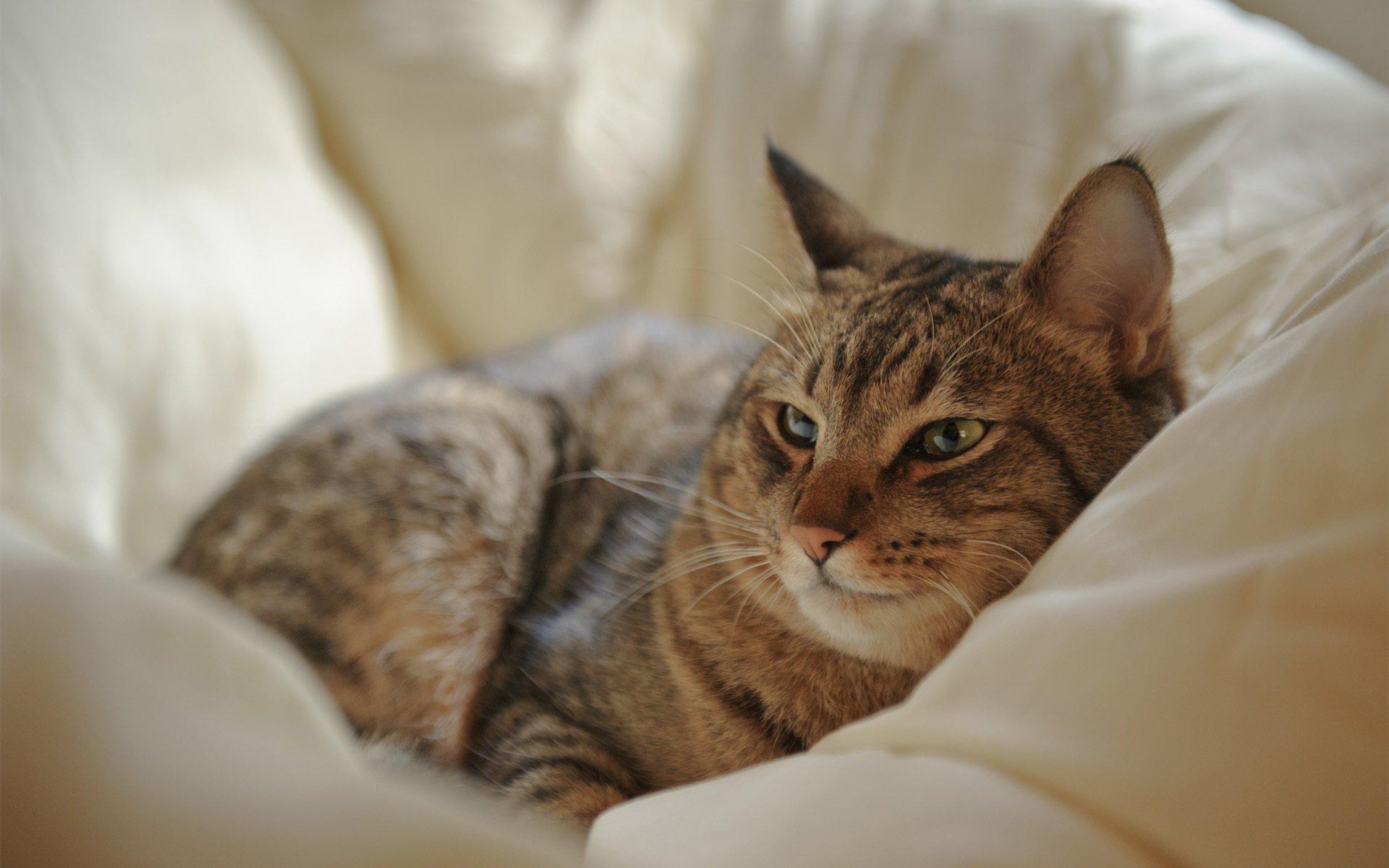 картинки лежащих кошек была