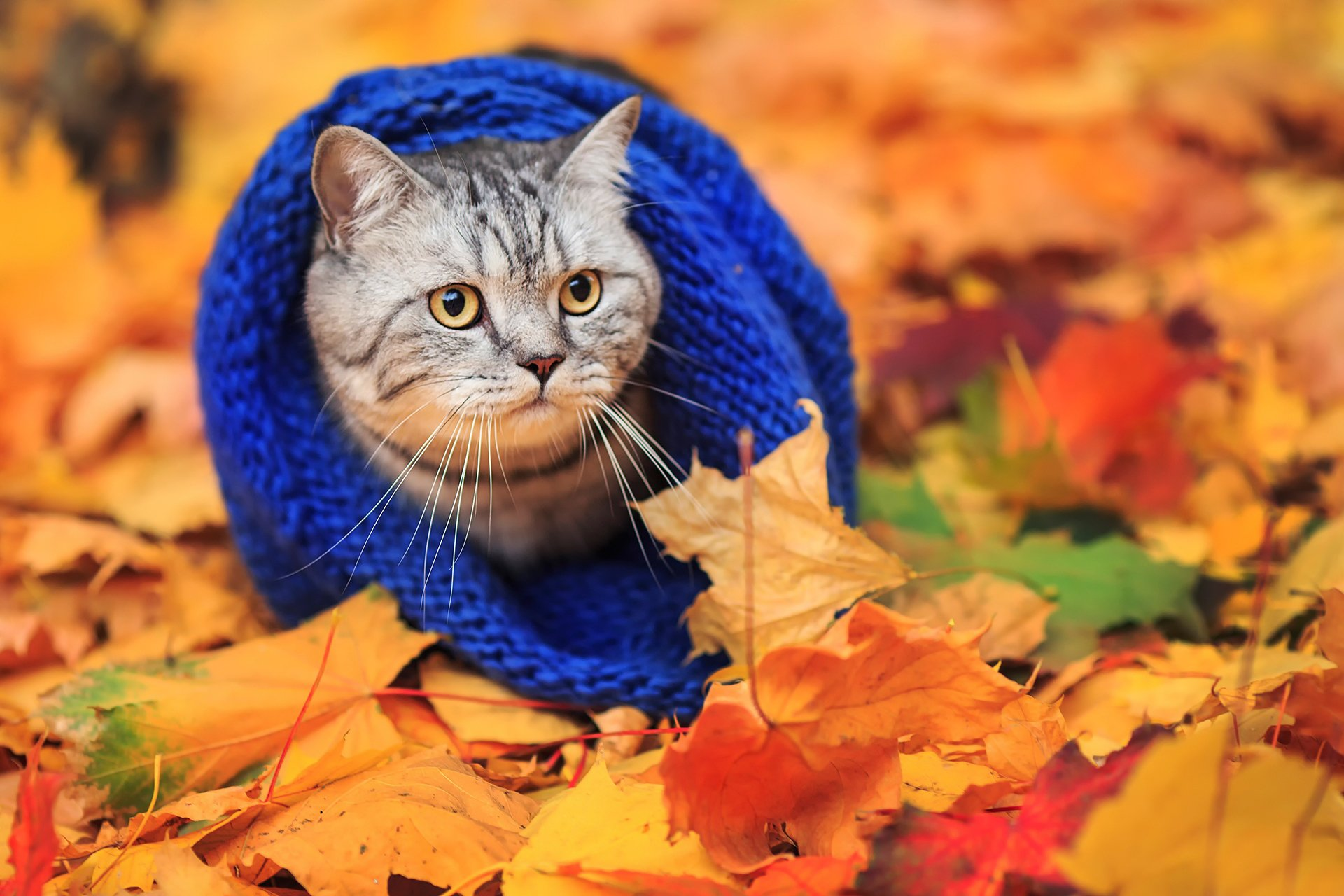 кошка осень листва  № 3898463  скачать