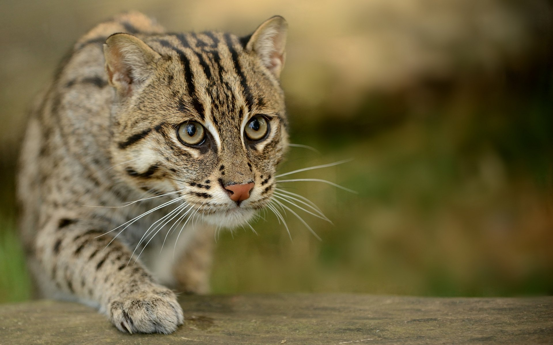 Кота-рыболова в домашних условиях