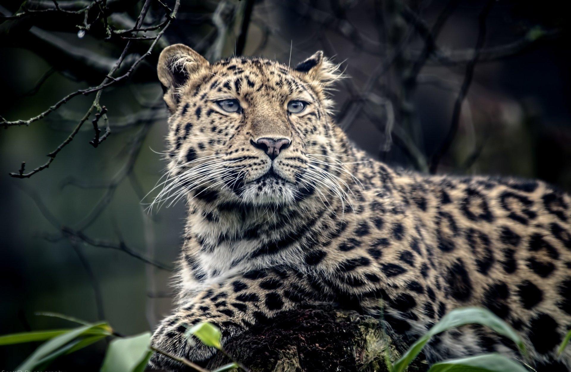 Картинки для телефона леопард