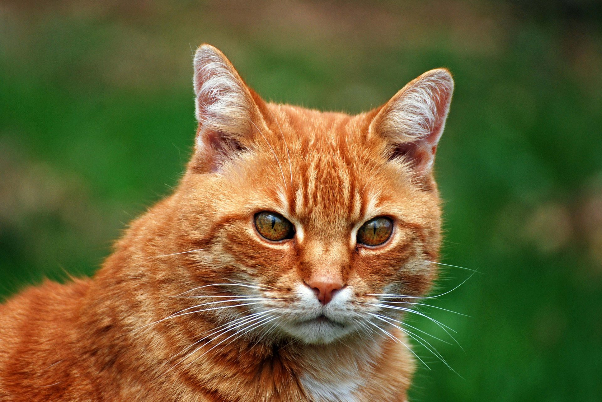 Рыжие кошки картинки фото, картинки