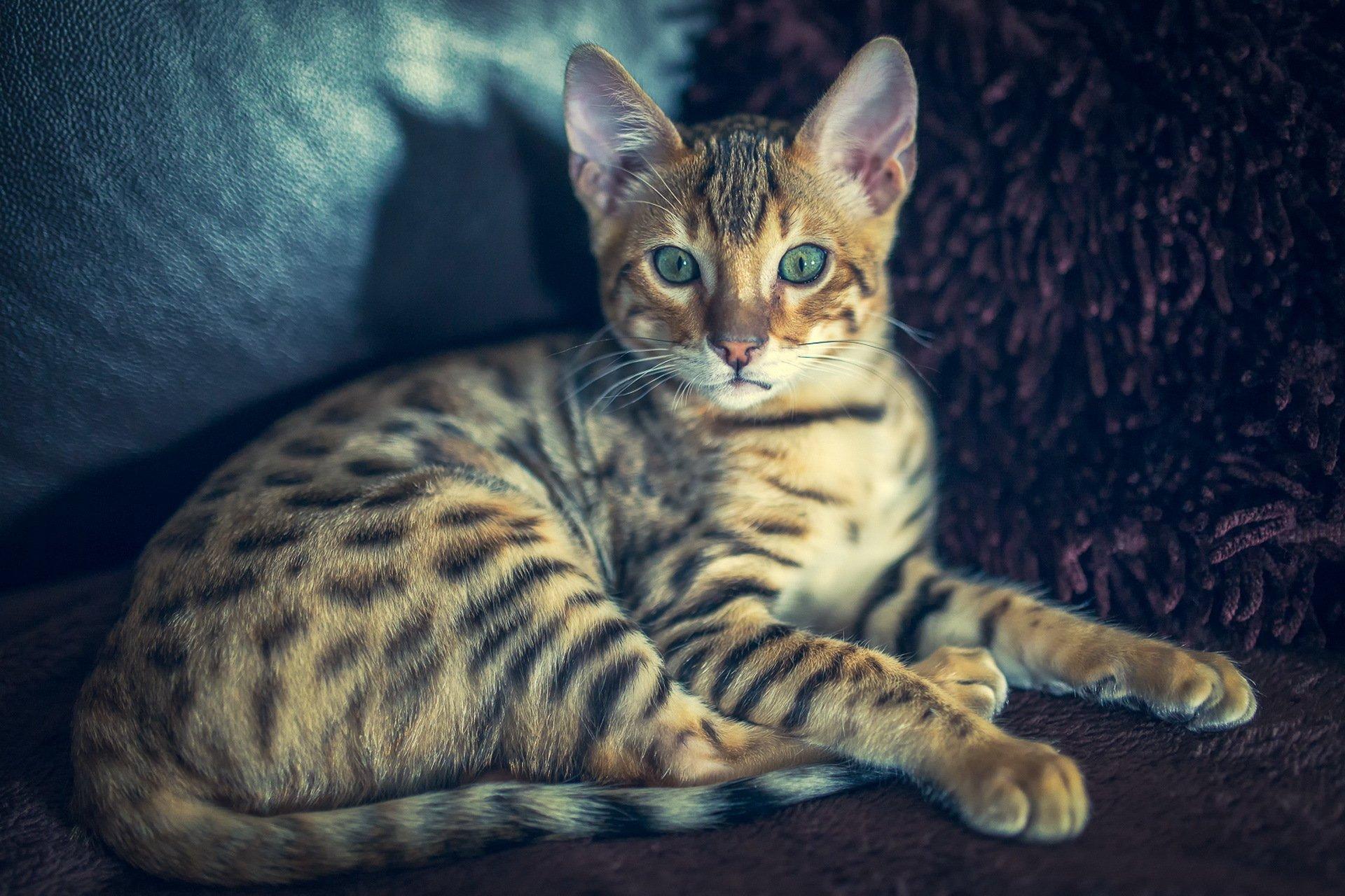 картинки бенгальского котика нас фотоцентре