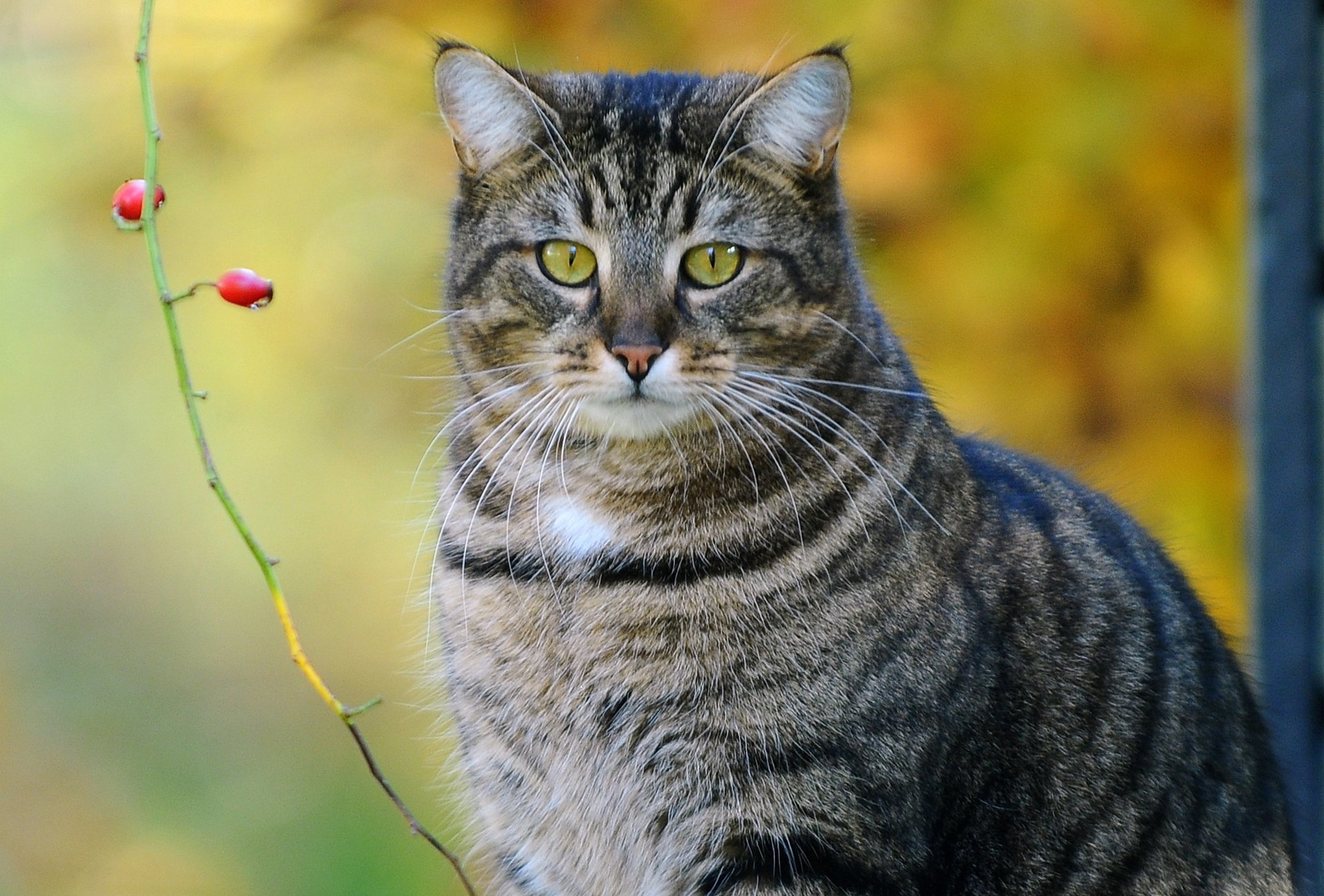 такую кот полосатый открытка стакан