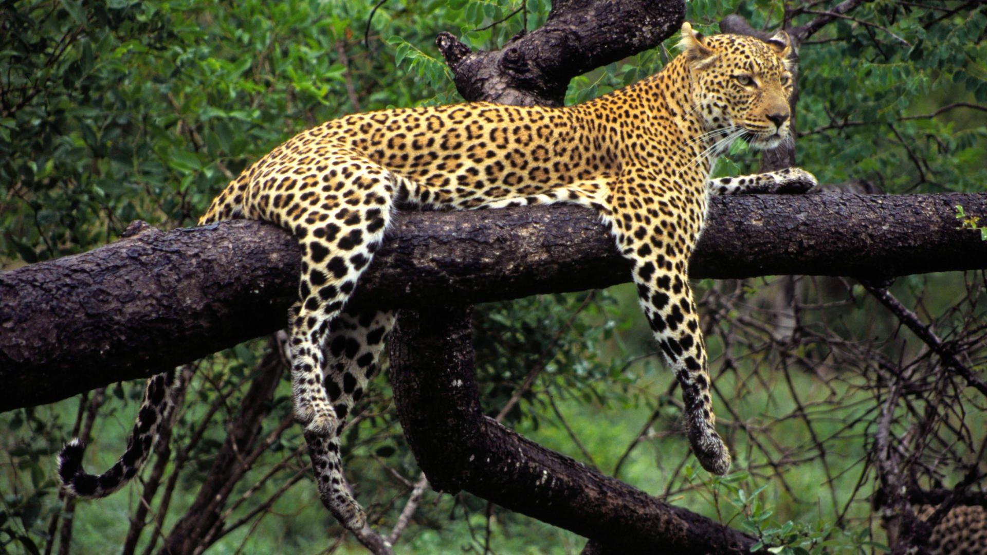 Обои на дереве, отдых, дикая кошка, леопард, африка, Хищник, лежит. Животные foto 11