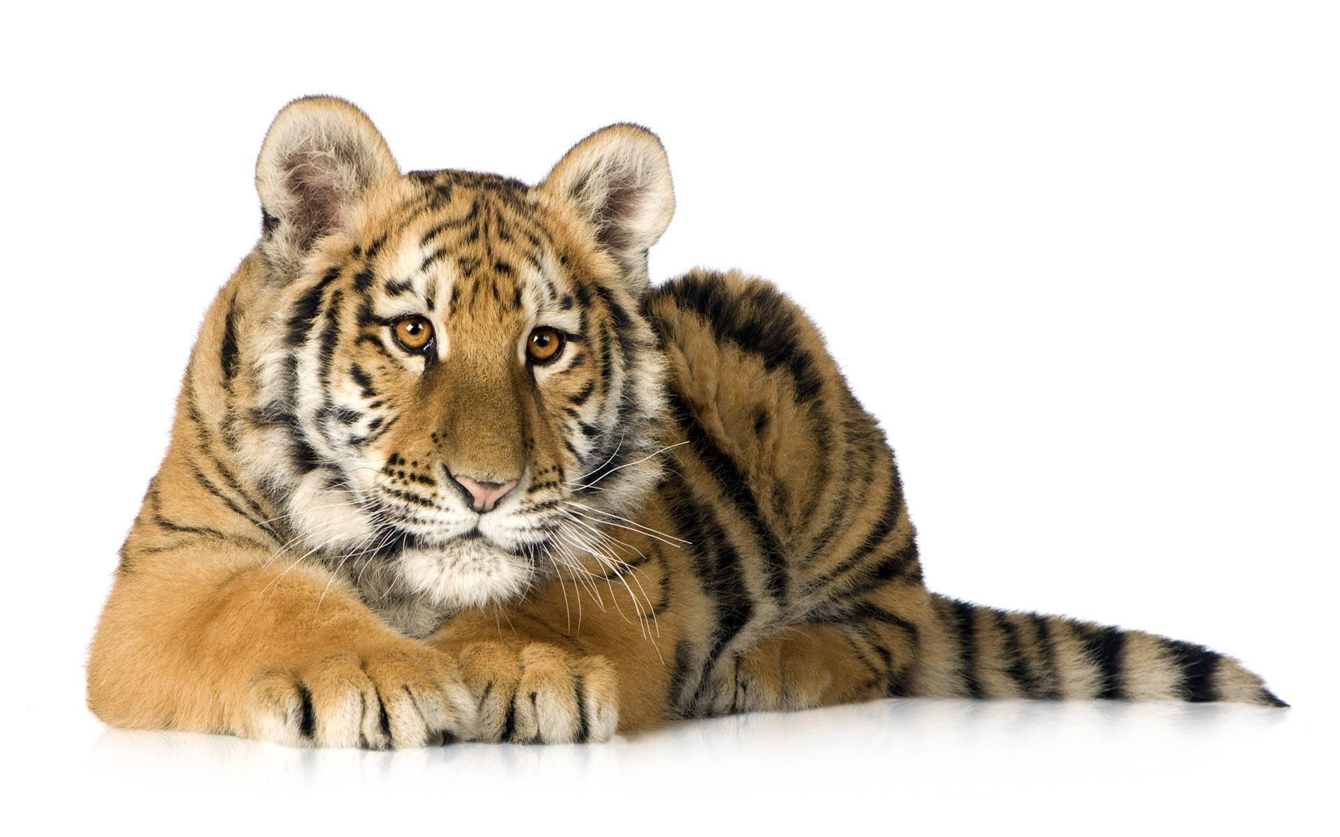 начальной картинка тигр без фона загородный дом