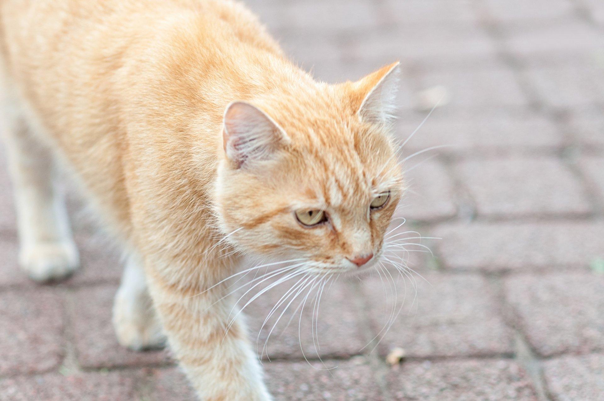 Два рыжих кота на дороге бесплатно