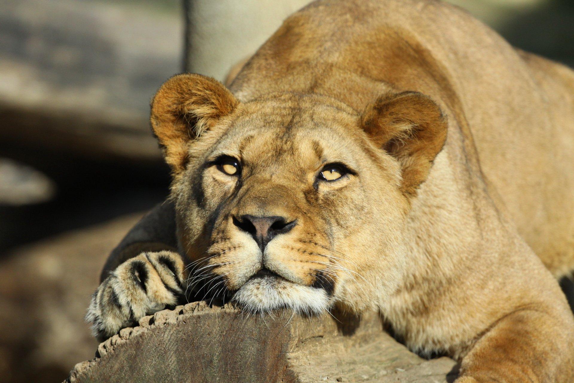 Happy lioness