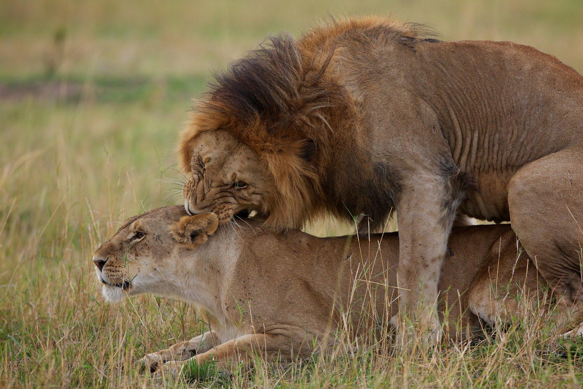 окрашен лев любит львицу картинки здесь имеют комплексов