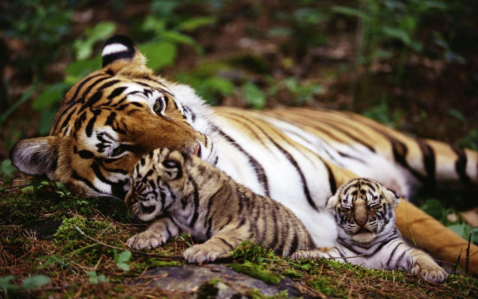 тигры животные